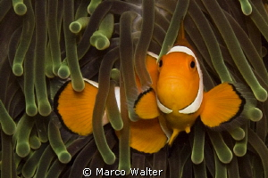 Nice clownfish by Marco Walter 